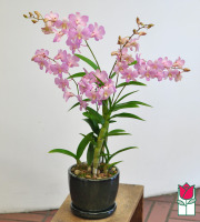 Dendrobium Orchid Ceramic Planter (Best Available Color)