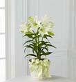 The FTD® Easter Lily Plant