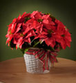 FTD Happiest Holidays Poinsettia $49.99