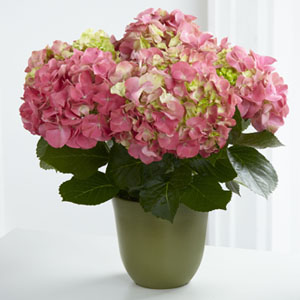 The FTD® Pink Hydrangea Planter