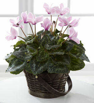 The FTD® Pink Cyclamen