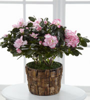 The FTD® Pink Azalea