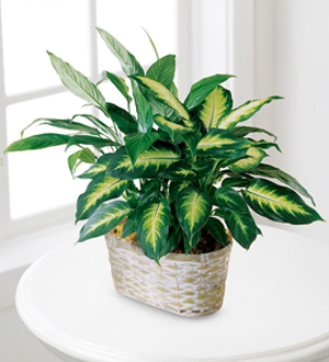 Find green plants and other sympathy gift ideas for the home, office or funeral home from Sunnyslope Floral, you locally owned same day delivery florist