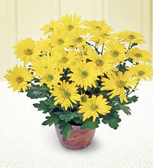 The FTD® Daisy Chrysanthemum (Large)