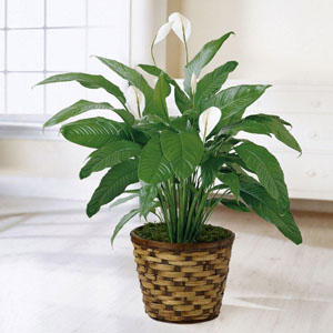 Find peace lily plants for same day delivery  to the home, business or funeral home in Grand Rapids, Holland & Rockford with Sunnyslope Floral