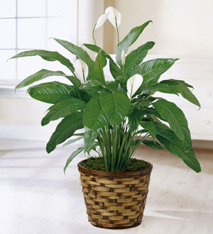 The Seminole Florist Peace Lily