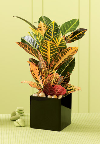 The FTD® Croton Plant