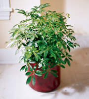 Send Umbrella tree plants, Schefflera plants to the home, funeral home or business in Grand Rapids Michigan and nation wide with Sunnyslope Floral