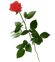 1 Red Rose (Long Stem)
