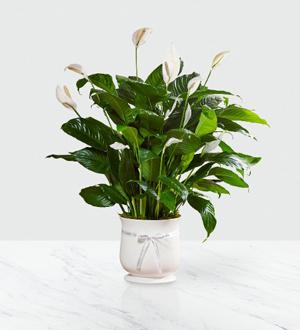 La plante FTD® 8