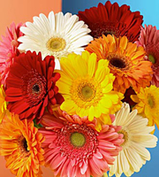 Gerbera Daisy Bouquet Wrapped
