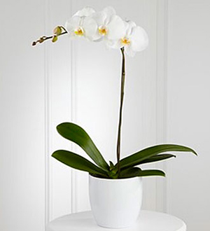 Find orchid plants & other unique sympathy gift ideas for same day delivery to the home or funeral home locally & worldwide with Sunnyslope Floral