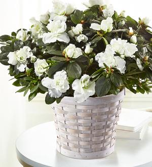 The FTD® White Azalea Plant