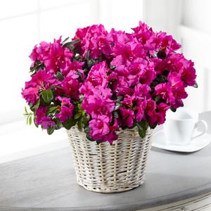 The FTD® Fuchsia Azalea Plant