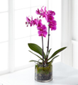 The FTD® Pink Orchid Plant