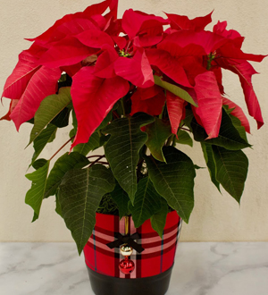 Poinsettia Red Jingle