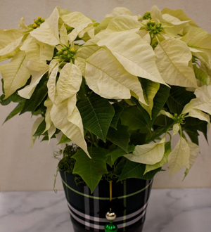 Poinsettia White Jingle