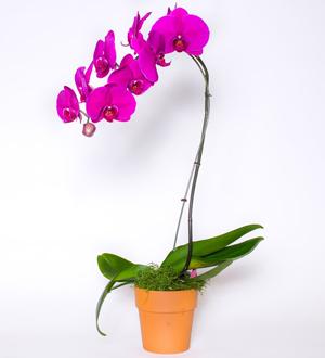Phalaenopsis 6