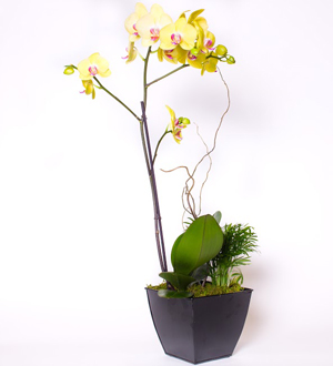 Orchid Garden Yellow