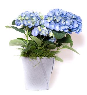Hydrangea Seasonal Blue