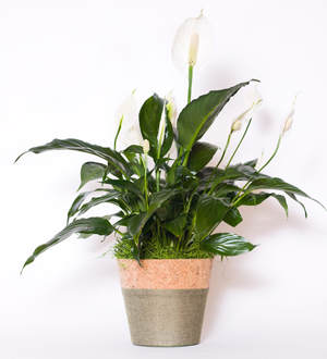 Peace Lily Basket
