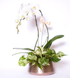 Bronze Beauty Orchid Garden