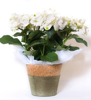 Hydrangea Seasonal White