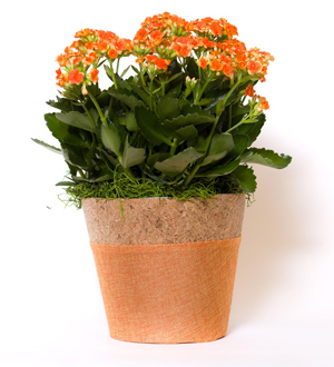 Kalanchoe Basket Orange