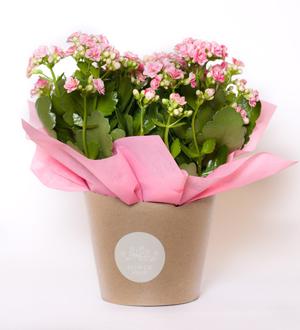 Kalanchoe Wrap Pink