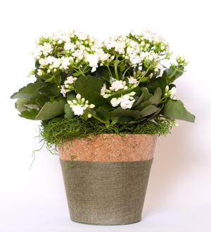 Kalanchoe Basket White