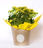 Kalanchoe Wrap Yellow