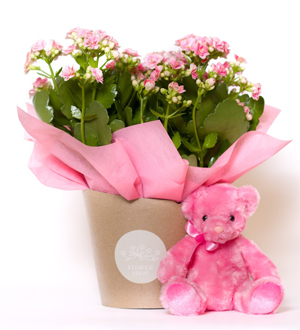 Kalanchoe Wrap Pink Bundle