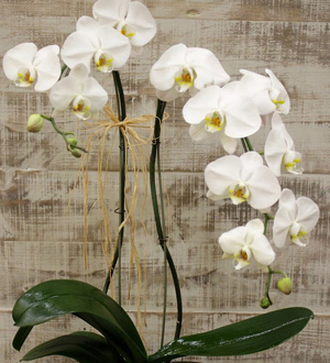 Double White Phalaenopsis in Glass