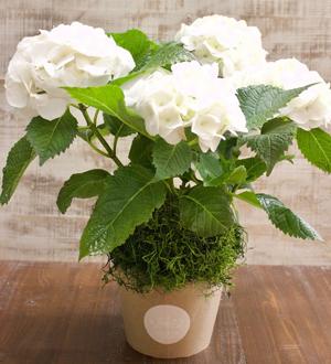 Garden Hydrangea White