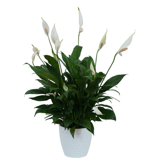 Peace Lily Plant in White Ceramic Container